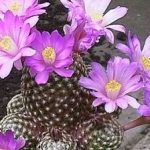 Despre cresterea si ingrijirea cactusilor
